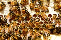 Bienenschwarm Gesetz